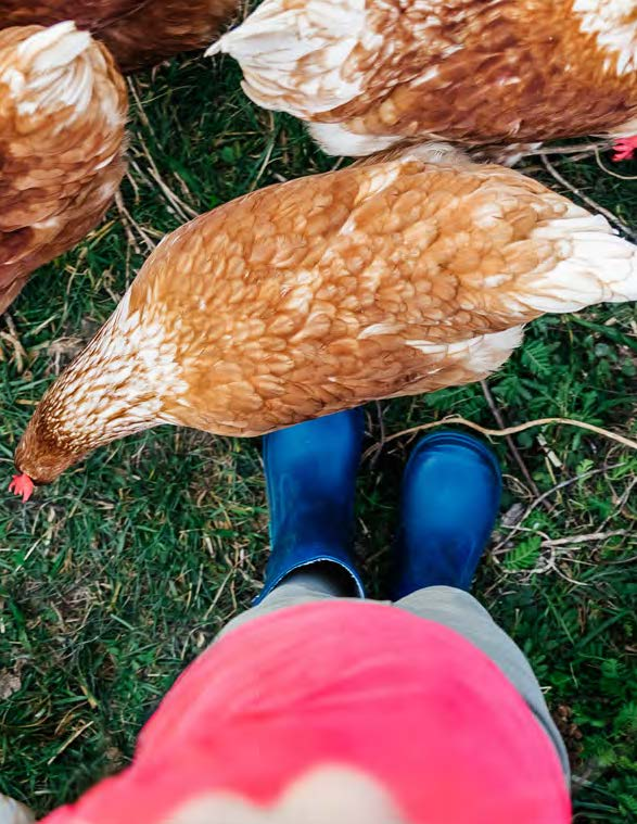 Photo of a person standing among backyard chickens (Photo credit: Istock.com:TommL)