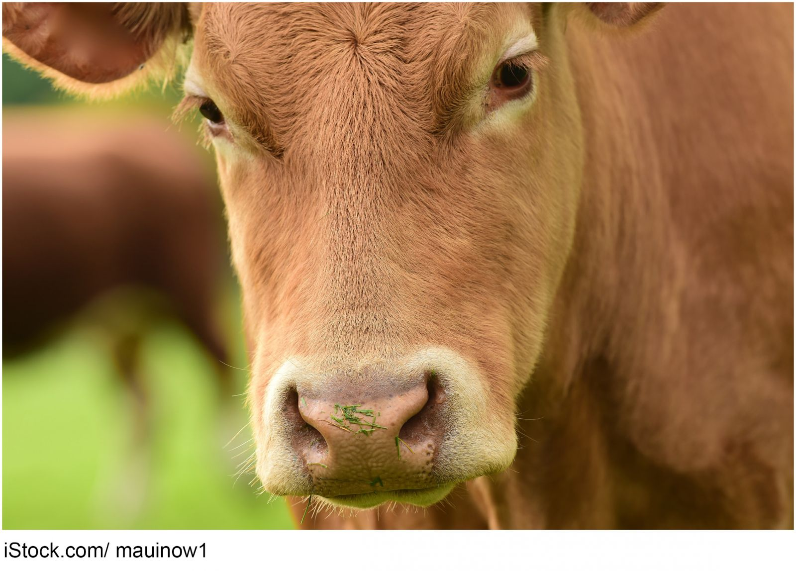 Photo of beef cow - iStock.com/ mauinow1