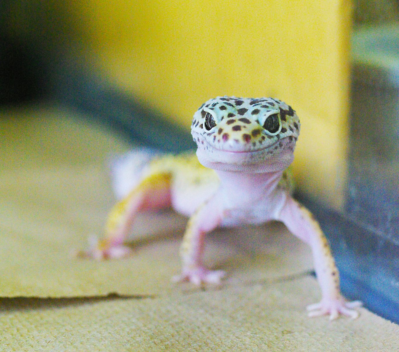 Photo of leopard gecko