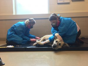 Dog receiving chemotherapy treatment in Ontario Veterinary College's Mona Campbell Centre for Animal Cancer, University of Guelph