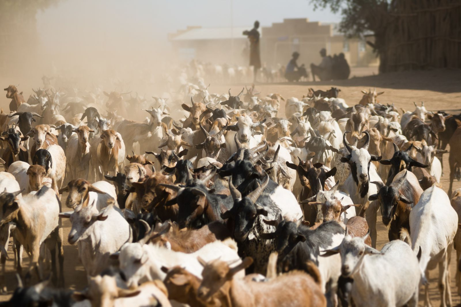 Goats on a dusty road (Istock image)