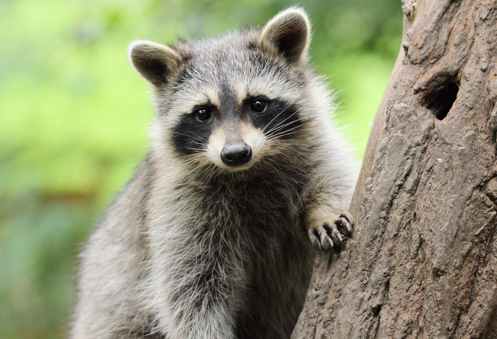 Raccoon in tree (IStock photo credit:amadeusamse)